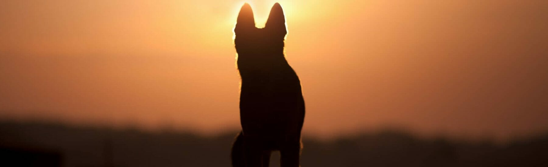 Silhouette of a dog in the sunset