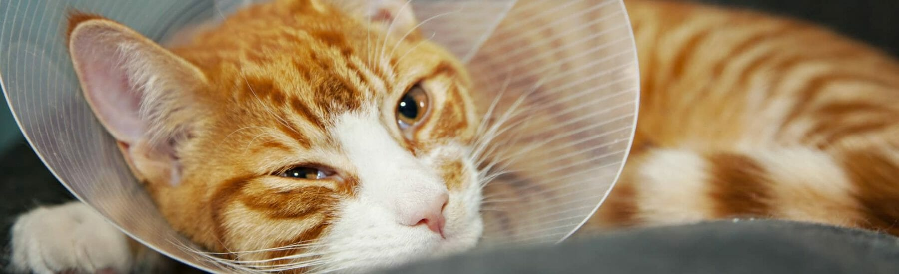 A orange tabby cat in a cone