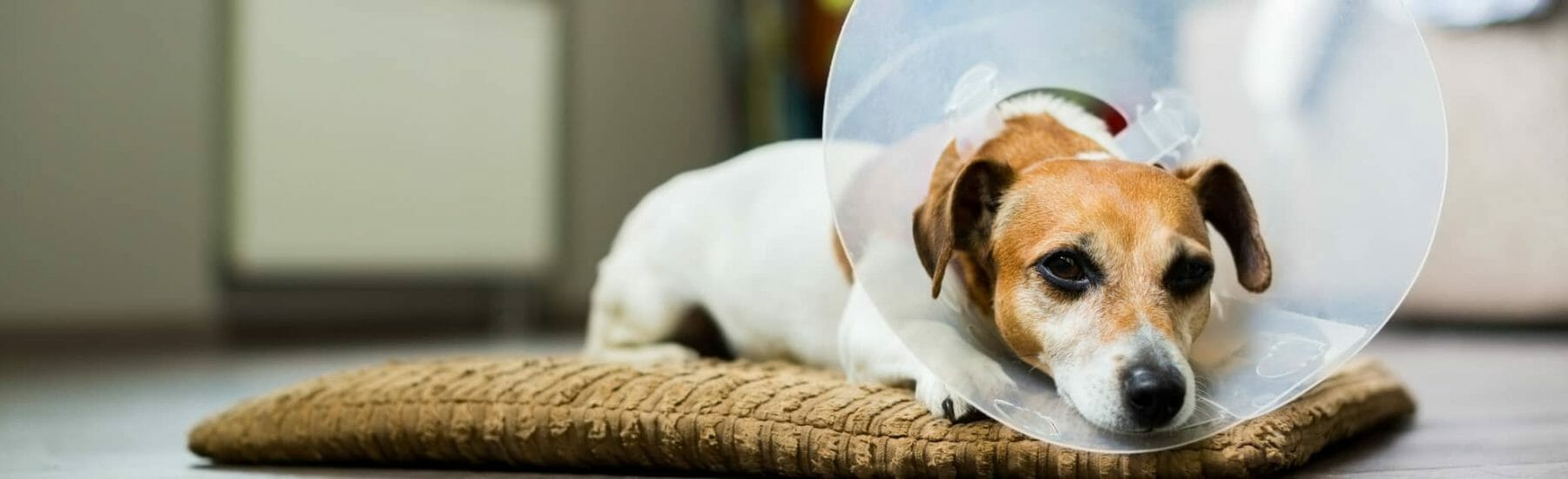 A small Jack Russell puppy in a cone.