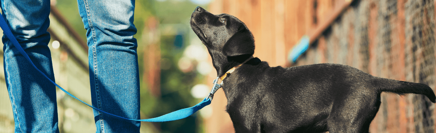 A small black dog looks up at their owner wearing jeans.