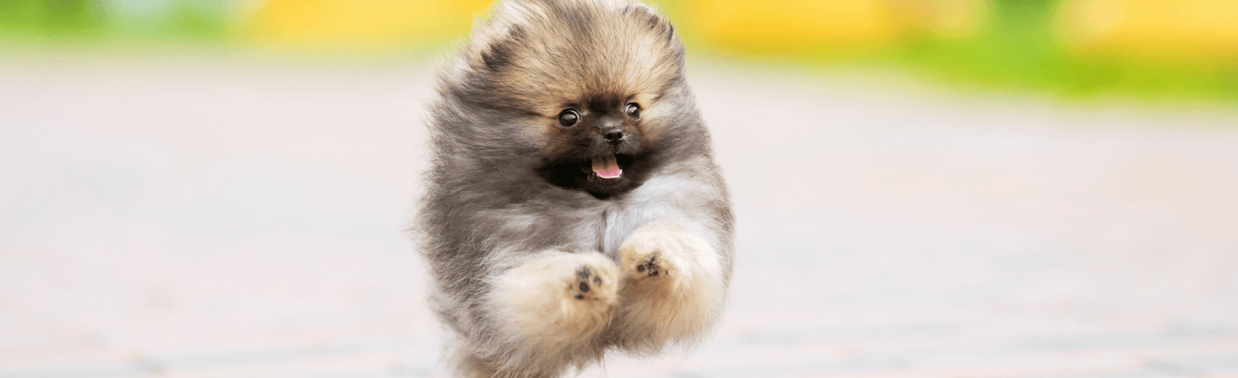 Cute Pomeranian dog running with their tongue out
