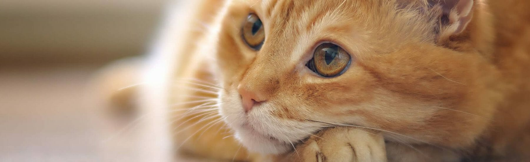 A ginger cat looks into the distance