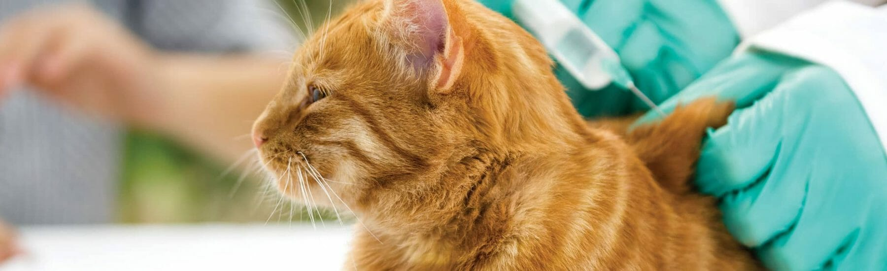 A ginger cat gets their vaccination.