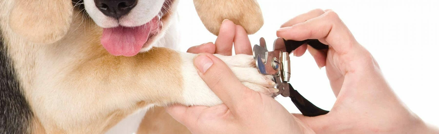 A close up of a dog getting his nails trimmed