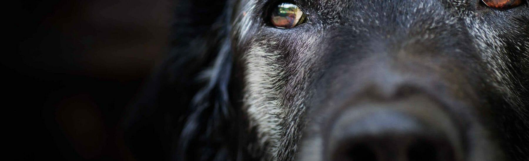 Close up of sad looking lab dog